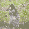 Thumbnail Southern Fox Squirrel P6060039.jpg